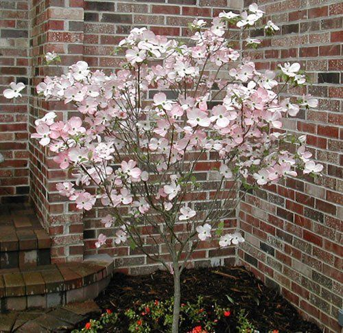 Pink Flowering Dogwood Garden Plant Flowering Trees