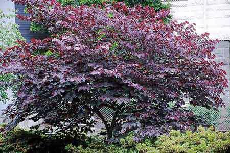 Forest Pansy Redbud Garden Plant Flowering Trees