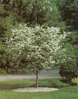 Thornless Cockspur Hawthorn Garden Plant Flowering Trees