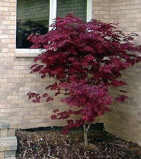 Japanese Maple Burgundy Lace Garden Plant Evergreen