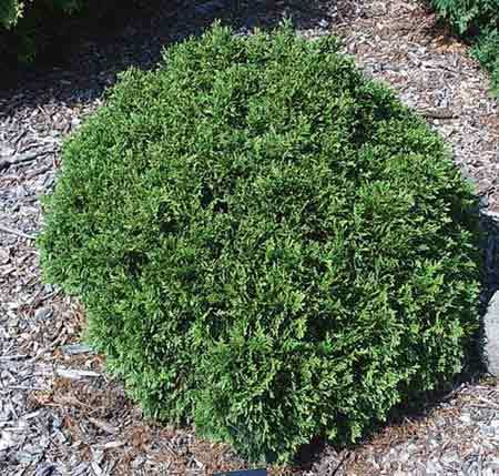 How To Care For Your Little Giant Arborvitae Plants