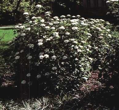 Mohican Viburnum Garden Plant Deciduous Shrubs Chicago