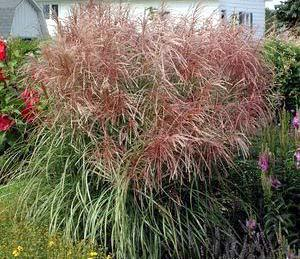 Purple maiden grass a touch of green landscaping lockport il for Tall purple ornamental grass