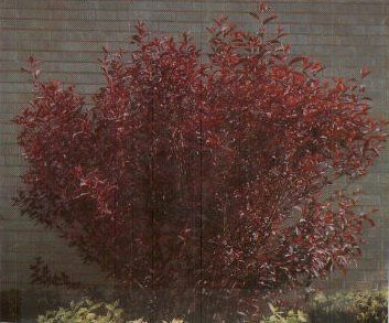 Purple leaf plum garden plant deciduous shrubs chicago garden this shrub has a rich deep purple leaf color with a small pink flowers in spring this plant will grow to 6 8 ft tall making it a good plant for screening mightylinksfo