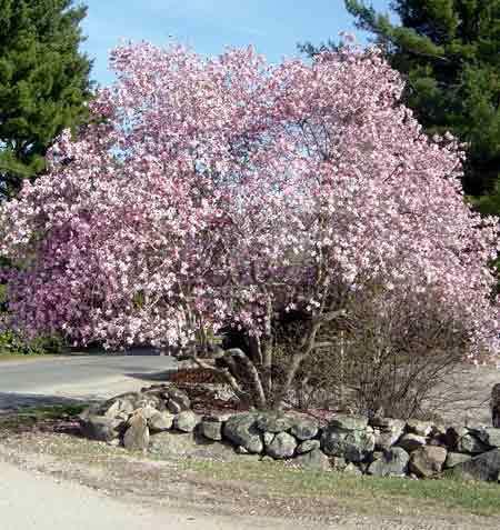 Saucer Magnolia Garden Plant Deciduous Shrubs Chicago Garden
