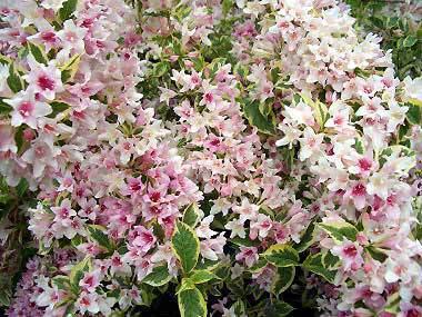 Variegated Weigela Garden Plant Deciduous Shrubs Chicago Garden