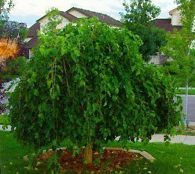 Weeping Mulberry Garden Plant Evergreen Trees Chicago