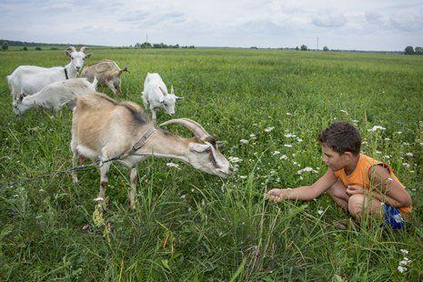 bambino allunga un filo d`erba a una capra