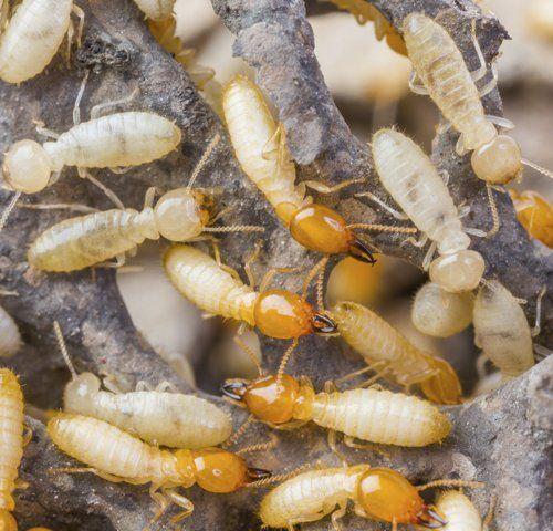 Termite Extermination San Antonio, TX