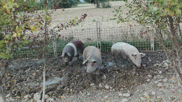 Animali presso l'azienda di Spallacci Marco a Castelleone Di Suasa