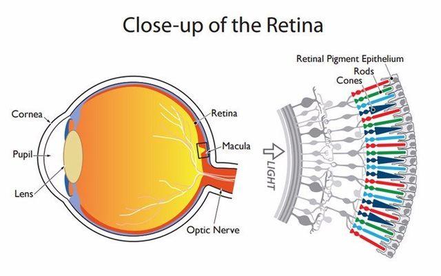 Color Blindness Retina Diagram Wiring Diagram Services