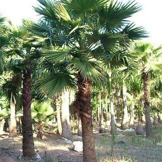 Tante Palme piantate nel terreno
