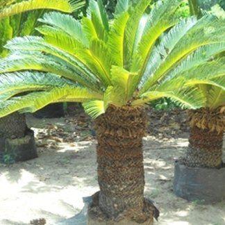 Tante Palme , Cycas revoluta piantate nel terreno