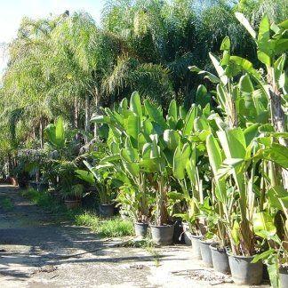 Piante tropicali aci castello catania vivai aronica for Piante da frutto nane in vaso