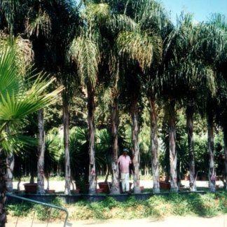 Una fila di palme alte da parco