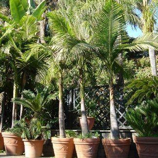 Palme di medie dimensioni nei vasi di terracotta