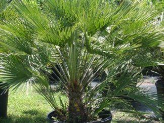 Una vaso di piante di palma, Chamaerops Appoggiato nel prato