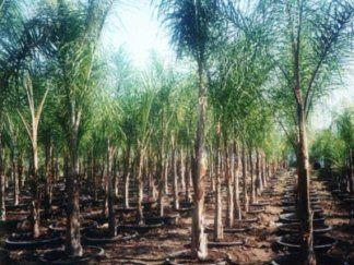 Tanti alberi di Cocos plumosa piantati  nel terreno