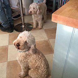 Brown terriers