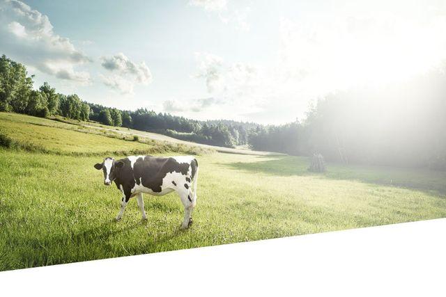 mucca che pascola su campagna veneta controluce in pieno giorno