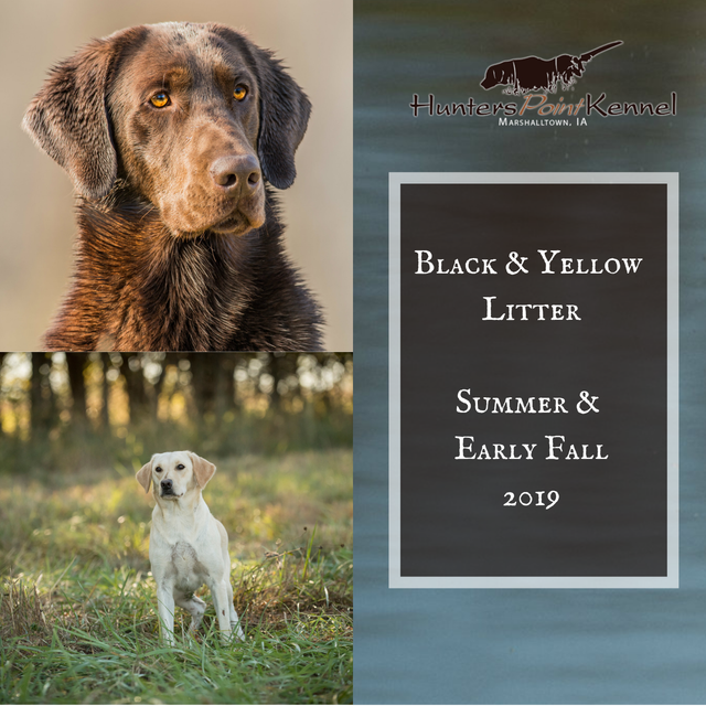Yellow Pointing Labs for Sale - Labrador Retriever Puppies