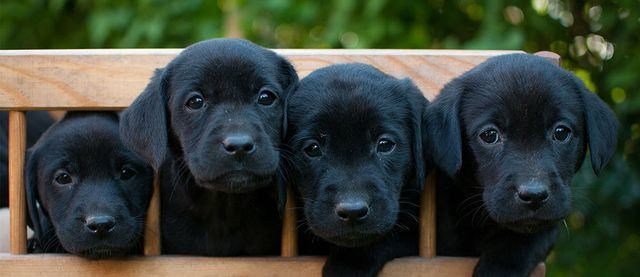 Labs for Sale