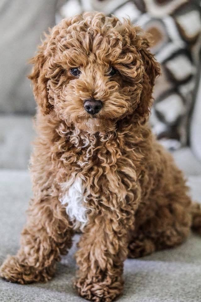 Petit Jean Puppies| Goldendoodles, Cavapoos & Cavapoochons