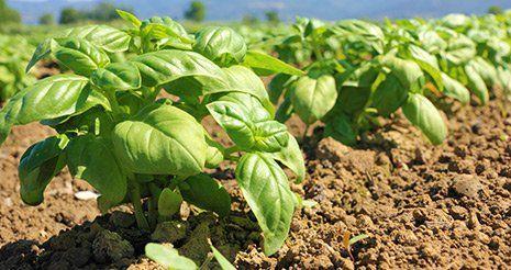 piante di basilico piantate a terra Sacco contenente semi da piantare - Punto Verde San Martino Valle Caudina