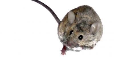 Mouse extermination in Lexington, KY