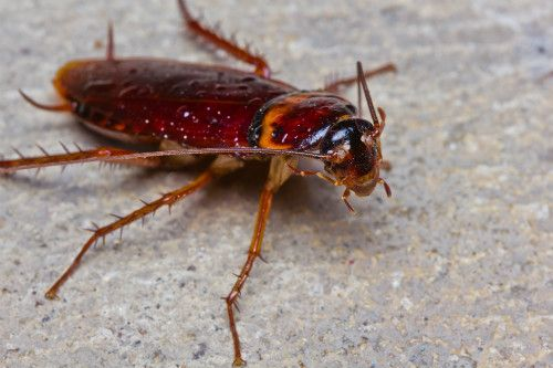 Get rid of cockroaches with pest solutions in Lexington, KY