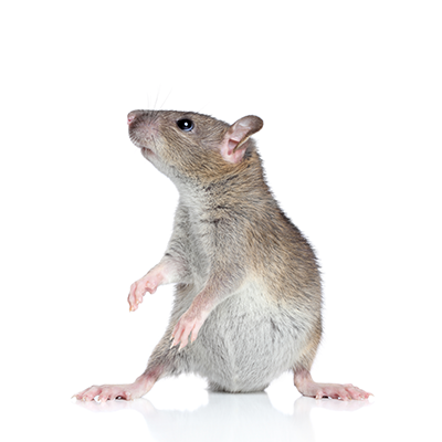 Removal of pest and rodents by professional in Lexington, KY