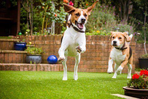 Due cani mentre corrono