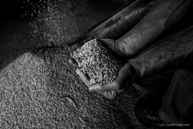 Vendita di cereali dell'Azienda Agricola Rossi a Bellinzago Novarese