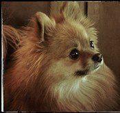 Pomeranian very dark brown nose