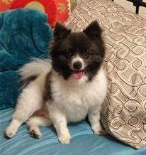 parti Pomeranian, chocolate and white