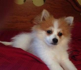 white and orange parti Pomeranian