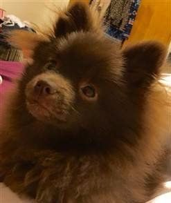 brown nose on brown Pomeranian