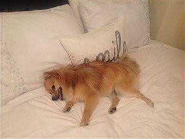 15 pound Pomeranian