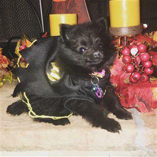 2016 Pomeranian costume contest - Winner - Costume Most Befitting
