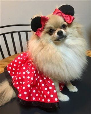 Pom 1st Runner Up - Minnie mouse costume