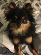 black tan and white colored Pomeranian