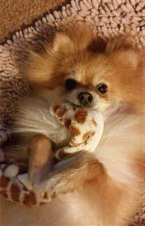 pomeranian-puppy-holding-toy