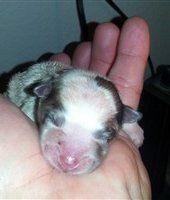 newborn Pomeranian with pink nose