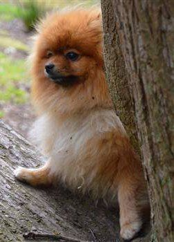 Pomeranian outside care