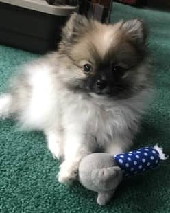 3 month old Pomeranian puppy