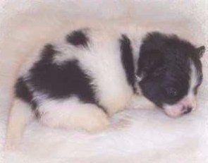 3 week old newborn Pomeranian