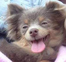 Pomeranian with lavender nose