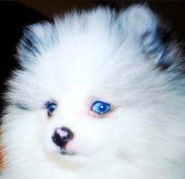 Pomeranian with spotted merle nose color