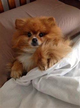 dark orange Pomeranian with white patch