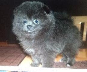 Pomeranian with blue nose color